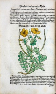 A hand colored botanical illustratio of a poppy plant.