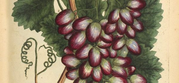 Detail of a botanical illustration of grapes.