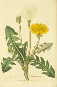 A botanical Illustration of a Dandelion