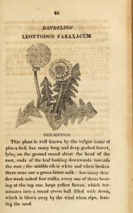 A rough engraving of a Dandelion plant.