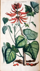 Colored botanical illustration of a coral tree.