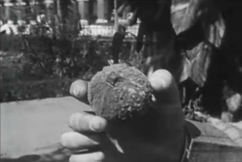 A close up of a hand holding a baseball sized nut.