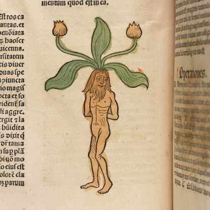 A handcolored page in a book of herbs depicting the mandrake pland as a human figure..