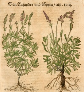 Woodcut illustrations of lavender plants showing the stalks, leaves, flowers, and roots.