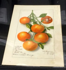 A botanical illustration of oranges on a branch.