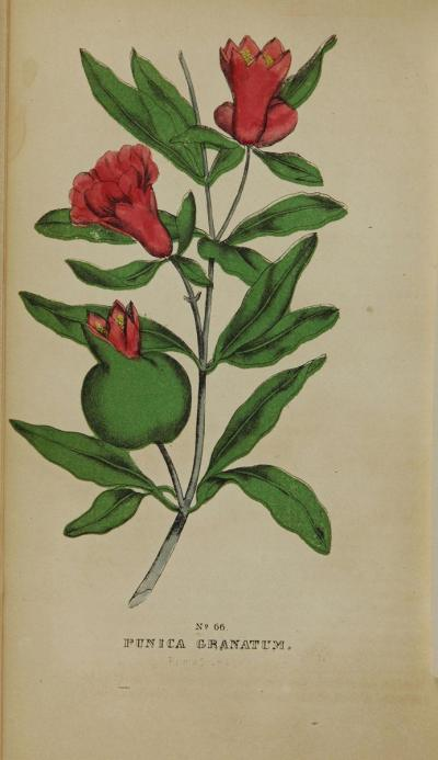 Botanical illustration of a pomegranate branch with flower and fruit.