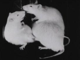 Three rats interacting.