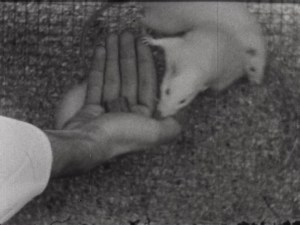 A rat eats from a hand.