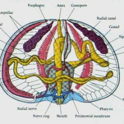 Octopus Water Vascular System Diagram 2004 Saturn Ion Redline Wiring Black Sea Urchin Circulatory 101 Urchins Like Many Echinoderms Do Not Have A Brain And Rely On Their