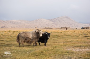 The smaller yaks still have their horns.