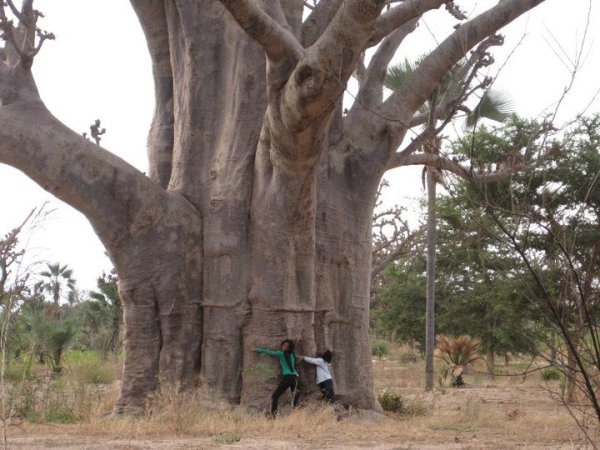 Baobab Tree in Louga, Senegal