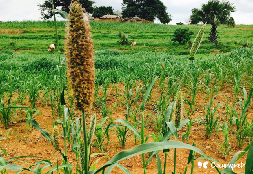 An Introduction to Northern Ghana's Super Foods Shea, Millet & Fonio