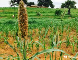 Millet and other food crops growing on a farm in Northern Ghana near Bolgatanga