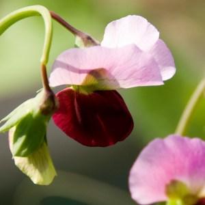 pea flowers