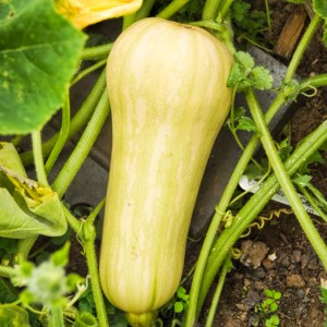 butternut squash growing