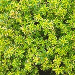 lemon thyme