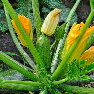 courgette growing