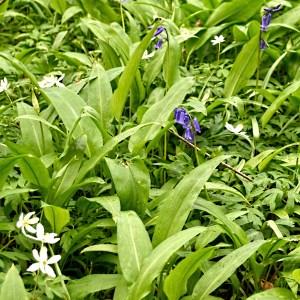 wild garlic and bluebells