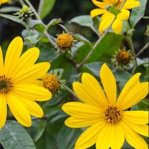 jerusalem-artichokes-in-flower