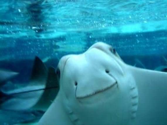 Koleksi Gambar Ikan Pari Comel Tersenyum Gembira  cisdelcom
