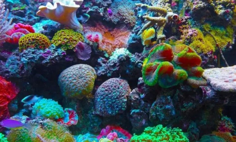 Advierten sobre el daño a los corales causados por el cambio climático