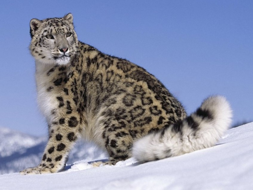 Snow Leopard And Panther