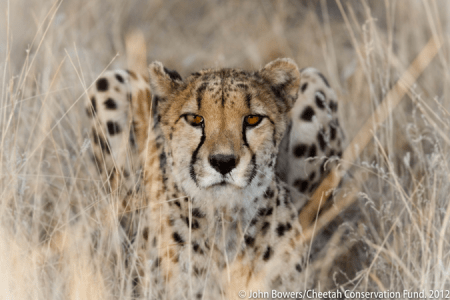 cheetahs cites