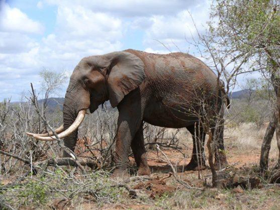 safaris are causing wild