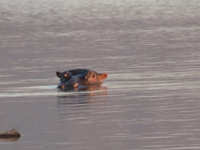 hippo3 667x500 - Wandering hippo spotted in Hartbeespoort Dam – The Citizen