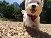 happy dog running at the park