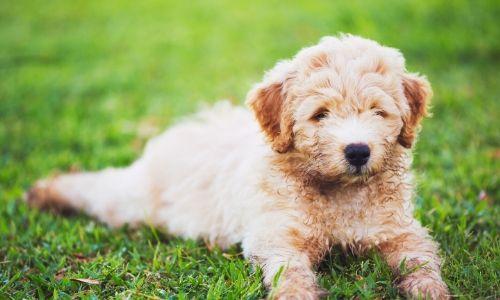 Puppy Services
