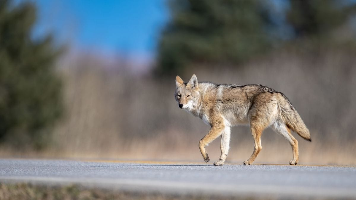 how to deal with coyotes and keep them out of yards