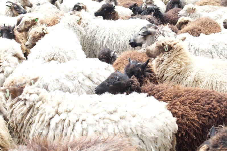 Texel schaapjes