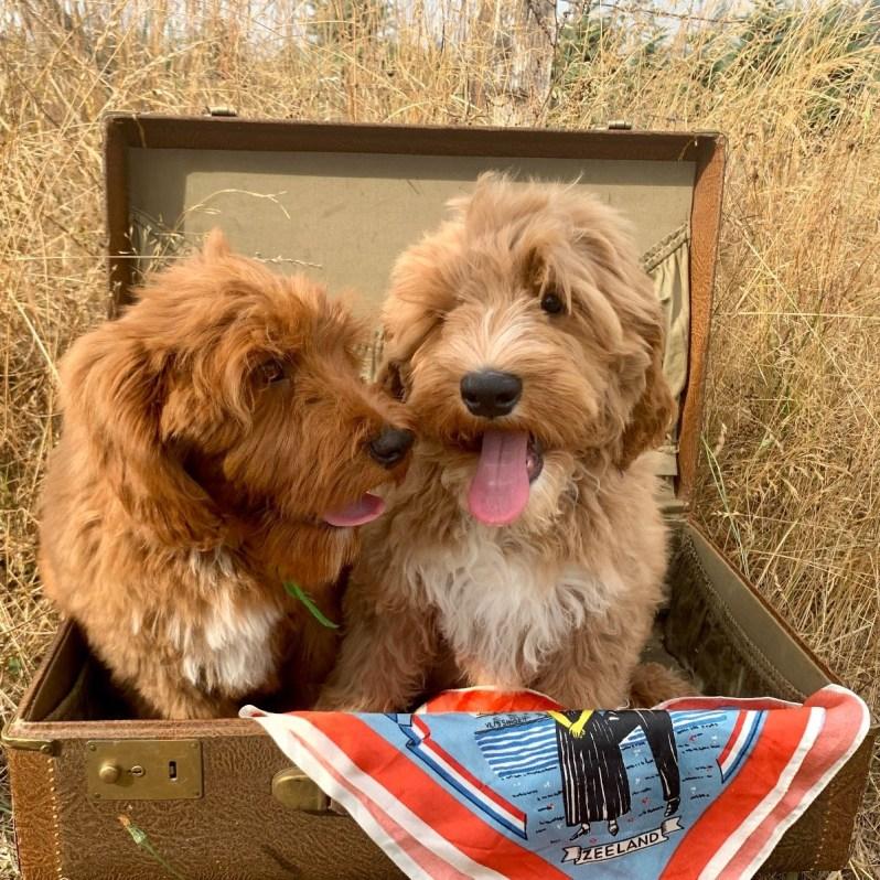 Australian-Labradoodles-Bobby-en-Jones-puppy