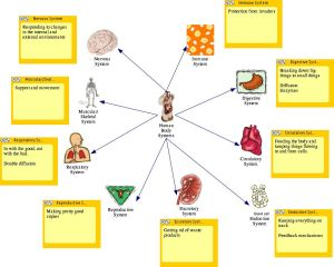 Teaching Human Body Systems to first graders | New