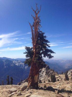 Foxtail pine on Alta Peak, Sequoia National Park