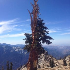 Foxtail pine on Alta Peak, Sequoia National Park