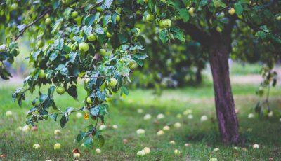 3D Orchards: UC Researcher Turns Farms Into Virtual Reality