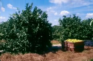 Just harvested Marsh grapefruit trees on Murcott rootstock at age 3.5 years in a trial planted 15 by 22 feet on Pineda sand in 1990 near Fort Pierce, Florida. (Barney Greene cooperator)