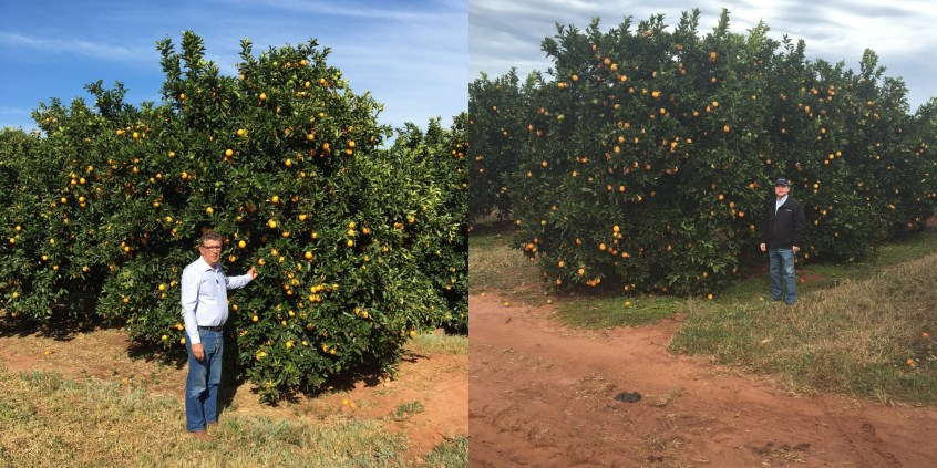 Current images of unirrigated Pera sweet orange trees planted 12 by 20 feet in Brazil (Alpha Citrus) in 2003 on Murcott (above) or 2001 on Rangpur lime (below) rootstock. The incidence of blight so far among the trees on Murcott or Rangpur is negligible; the loss to HLB is 5 percent and 10 percent, respectively. Yield in recent seasons has been about 3 to 4 boxes per tree for both rootstocks.