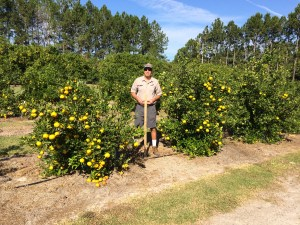 Technician Mark Gal assists with the seedless mandarin trial at the University of Florida teaching grove in Gainesville.