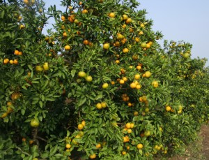 Fresh Oranges on a tree.