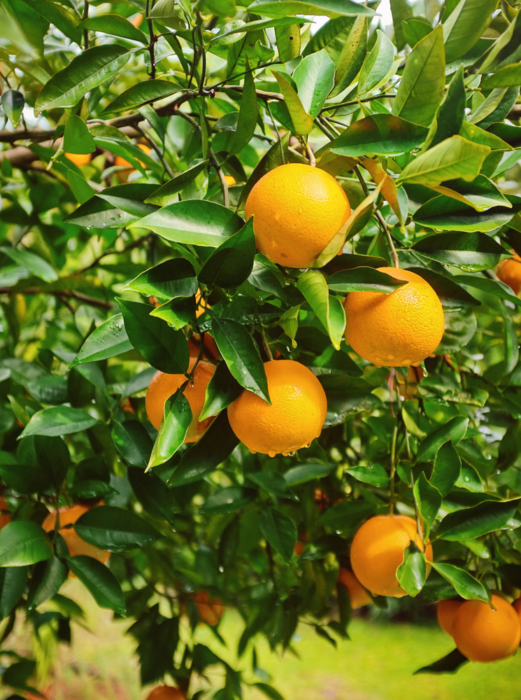 """Featured image for """"Keep Citrus Trees Hydrated"""""""