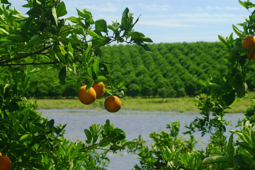 citrus acres