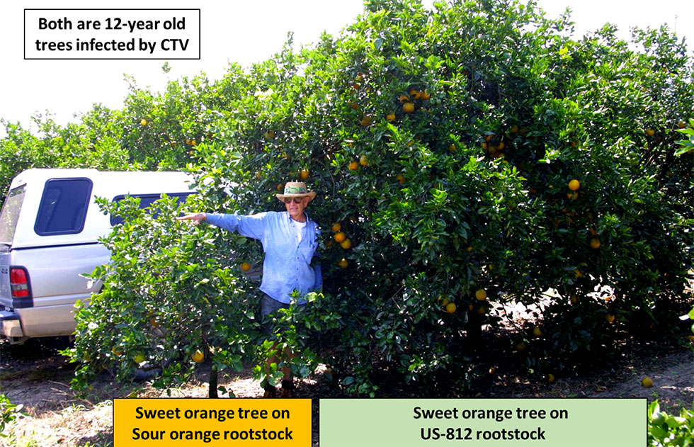 """Featured image for """"How to Work With UF/IFAS for a Rootstock Trial"""""""
