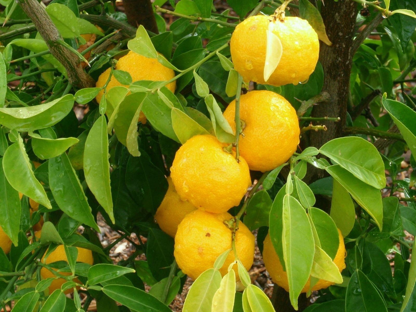 Resultado de imagem para Citrus Junos yuzu