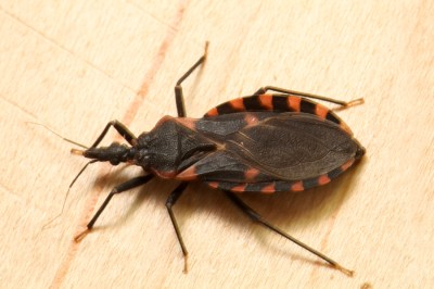 Kissing bug identification requires closer look - Insects ...