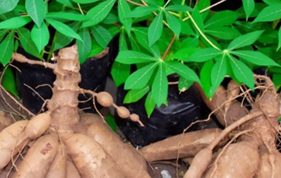 Cassava: Experts brainstorm on challenges, way forward