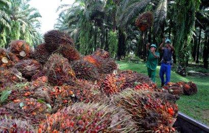 Okomu oil palm unveils agenda for new plantation