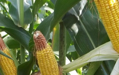 CBN Targets 12.5m Metric Tons Of Maize In 18 Months
